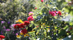 Large shrub roses Stock Footage