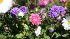 flower-bed with flowering asters - stock footage