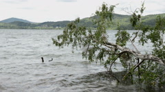Birch tree driftwood at Laach lake (Eifel Region) Stock Footage