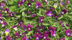 Violet violets blooming, full screen Stock Footage