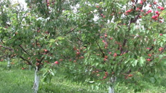 Apricot farm Stock Footage