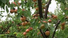 Apricot harvest on farm Stock Footage