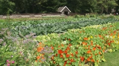 Tropaeolum majus, garden nasturtium in kitchen garden + pan Stock Footage