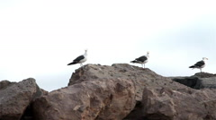 Seagulls flying off of rocks-C6-HD P-4434 Stock Footage