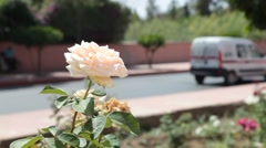 White Rose on the side of the highway Stock Footage