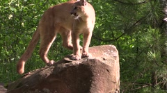 A beautiful cougar licks his chops and jumps off a rock - stock footage