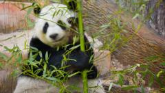 Panda eating bamboo shoots and leaves Stock Footage