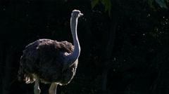 An Ostrich at golden hour, bird, African, 4K Stock Footage