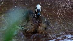 Naamioviheltäjäsorsa, Duck, Bird, sauna, Splash, 4K Arkistovideo