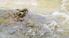 Crab eats algae from rocks in the sea waves Stock Footage