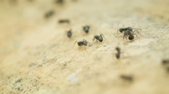 Wood ants in motion close up. thailand Stock Footage