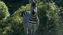 Zebra, Horse, Facing Camera, Golden Hour, 4K Stock Footage