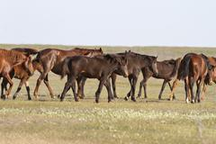 Herd of horses wandering on a hot day of spring steppe Stock Photos