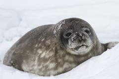 Big pup weddell seals lying in the snow near the the well Stock Photos