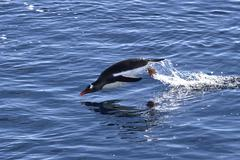gentoo penguin jumped out of the water on a sunny afternoon - stock photo
