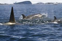 Pack of killer whales swimming along the antarctic coast sunny summer day Stock Photos