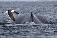 Spin and fin whale humpback over which fly kelp gull Stock Photos