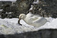 white morph of the southern giant petrel who eats penguin chick - stock photo