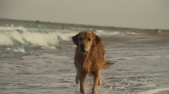 Retrievers dog running on beach in super slow motion Stock Footage