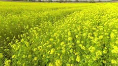 flying low over rapeseed field - stock footage