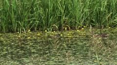 Wild Duck female mallard + ducklings in ditch - tracking shot Stock Footage