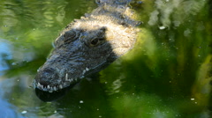 Crocodile swimming in the river Stock Footage