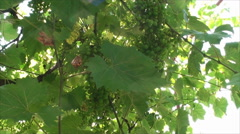 Green Grapes In A Vineyard In The Sun, Organic Agriculture, Eco Farming, Tilt Stock Footage