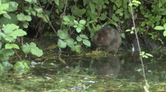 Water Vole (Arvicola amphibius) eating at waters edge Stock Footage
