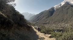 2.7K. Yaks on trail rounding corner loaded down on Mt. Everest, Nepal.  Stock Footage