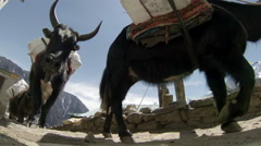 2.7K. Yaks on trail rounding corner loaded down on Mt. Everest, Nepal. Full HD.  Stock Footage