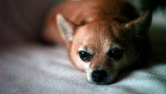 CHIHUAHUA PET DOG SITS ON COUCH Stock Footage