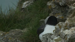 Puffins (Fratercula arctica) Preening partially hidden by a rock Stock Footage