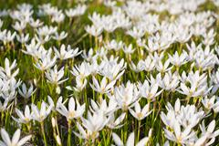 Rain Lily blooming background - stock photo