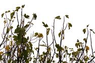 Stock Photo of fig tree branches and leaves