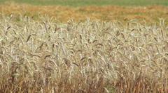 Agricultural field of ripening golden wheat Stock Footage