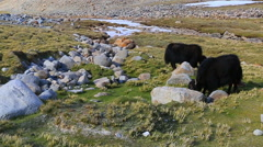 Wild yaks grazing in the meadow Buddha Park Stock Footage