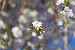 beautiful flowers on a fruit-tree - stock photo