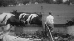 Cows At Trough With Boy - Vintage 8mm Stock Footage