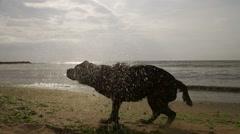 Black labrador splashing water at the beach Stock Footage