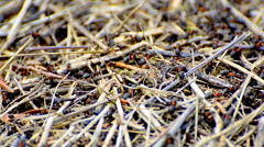 Working ants on anthill. Stock Footage