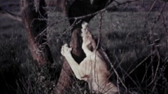 Female Lion Walks Around Climbs Tree Stock Footage