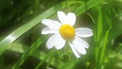 White Chamomile on a meadow. Camera zoom in. Stock Footage