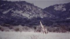 Group Of Giraffes Running Across Plains - Vintage 8mm Stock Footage