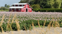Red Barn and Potato Blossoms Stock Footage