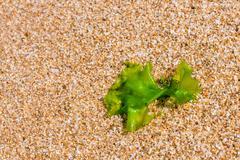 seaweed on a beach sand, closeup algae - stock photo