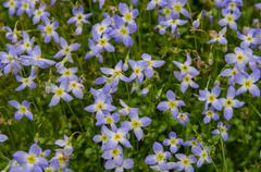 Bluet flowers close up Stock Photos