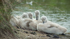 Swans baby cygnets water lake Stock Footage