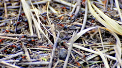 Working ants on anthill, panning shoot Stock Footage