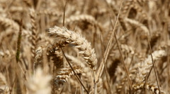 Wheat harvest. Tight shot of a piece of wheat in a field - stock footage