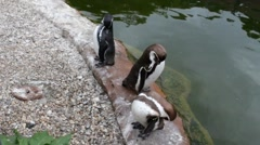 Penguins at the zoo Stock Footage